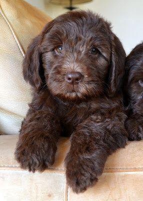 Filhote do autêntico cão labrador australiano.