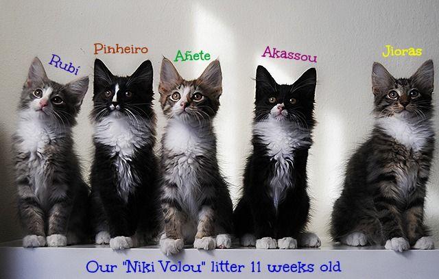 Διαθέσιμα γατάκια Νορβηγικού Δάσους! Available Norwegian Forest kittens! www.elvenstar.gr