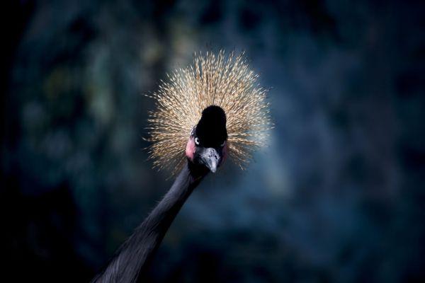 Conozca a la grulla coronada del África Occidental. Visite nuestra página y sea parte de nuestra conversación: http://www.namnewsnetwork.org/v3/spanish/index.php  #nnn #bernama #malasia #malaysia #africa #zoo #noticias #animales