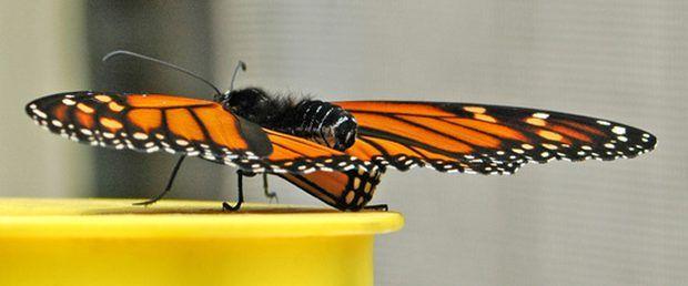 Información sobre las alas de la mariposa monarca