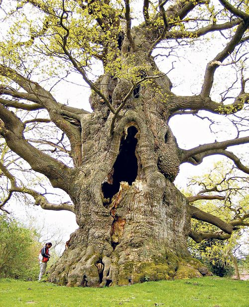 The Majesty Oak of the Fredville Estate Park in Kent, England, believed to be 500-600 years old.  Source: Champion Trees of Britain and Ireland  More information on ancient trees in the UK.