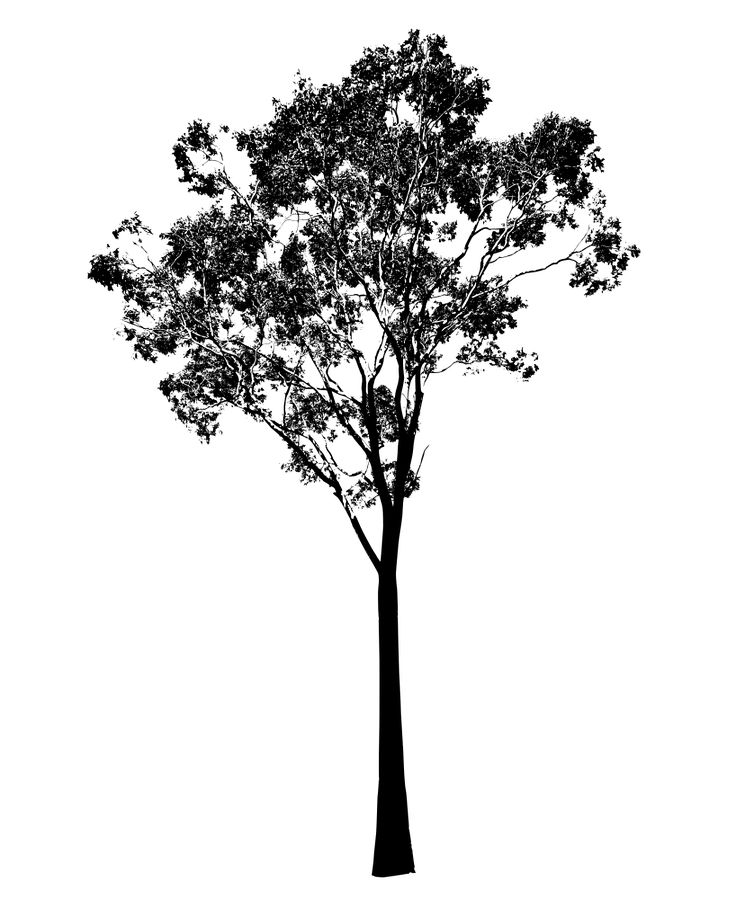 Eucalyptus Tree Gum Tree Australia The