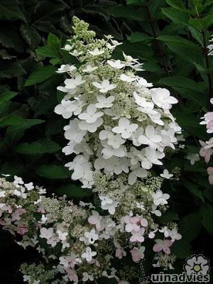 Hydrangea paniculata of pluimhortensia planten in de tuin - online kopen witte hortensia voor in de tuin - hortensia snoeien, vermeerderen of stekken, bemesten, ziektes, online kopen hortensia's