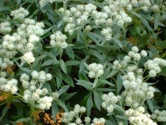 31 best images about vaste planten met grijs blad on pinterest ruta graveolens mauve and tes - Sterke witte werpen en de bal ...
