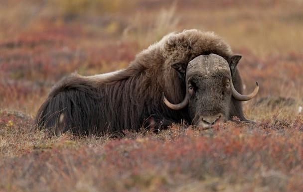 Musk ox on autumn tundra