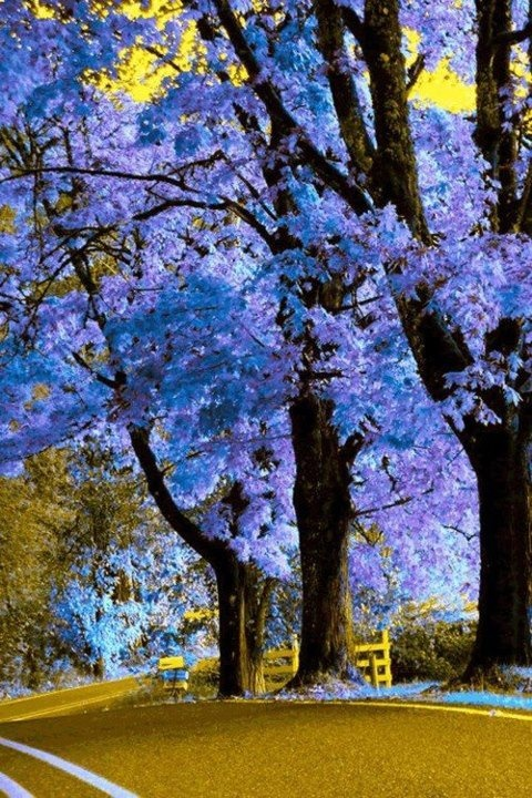 I have one of these trees (Royal Empress Tree) in my back yard, can't wait till it blooms in a year or two! Saved from FaceBook page for Our World's View...stunning pics!!  https://www.facebook.com/media/set/?set=a.356466097757069.74445.356459954424350=3