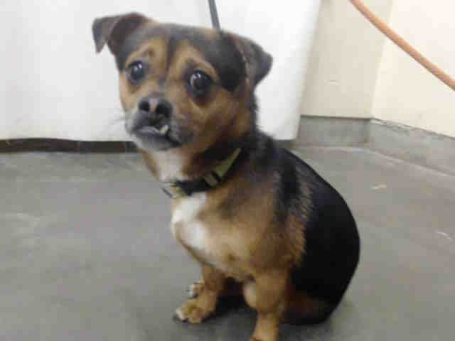Chihuahua dog for Adoption in Camarillo, CA. ADN-475464 on PuppyFinder.com Gender: Male. Age: Adult