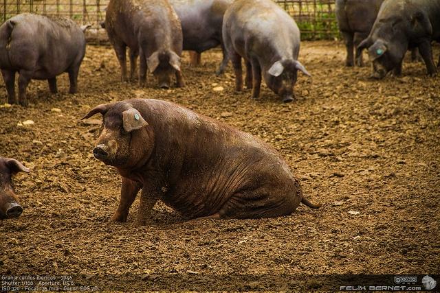 Granja cerdos ibericos  - Atardecer en la Dehesa de Extremadura   http://www.todoextremadura.com