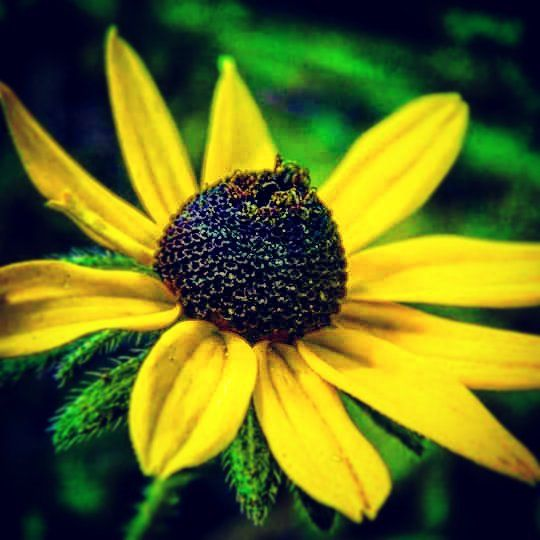 This little beauty was in the front of the camp #closeup #closeups #potrait #cuteness #cute #adorable #homegrown #flower #flowers #yellow #yellowflower #yellowflowers #beautiful #organic #life #lifesbeautiful #lifesbeauty #pretty #prettyplants #prettyplant #natural #zoomin #zoom #cool #coolest #naturelovers #nature