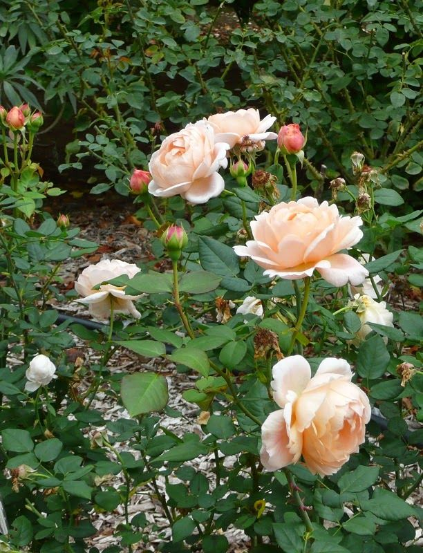 167 best roses images on pinterest | gardening, plants and landscaping