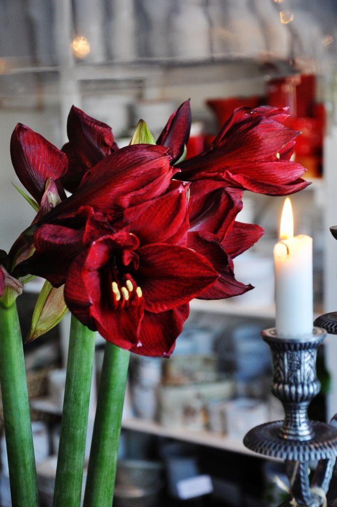 Amaryllis flower, December holiday flower