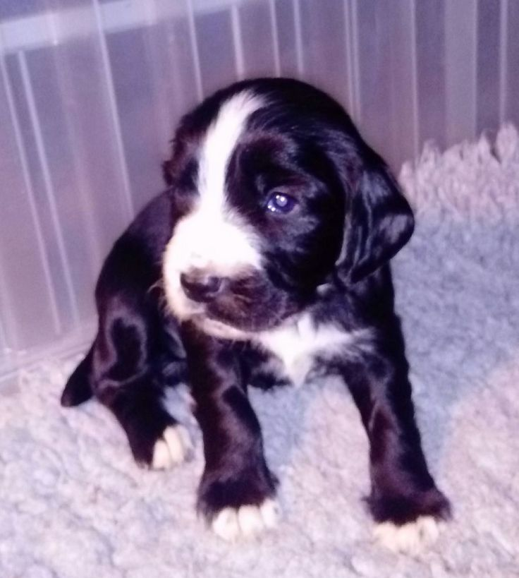 Sprocker puppies for sale, four bitches and four dogs available in mixture of colours. Mum pedigree working dog springer spaniel, father trial champio...