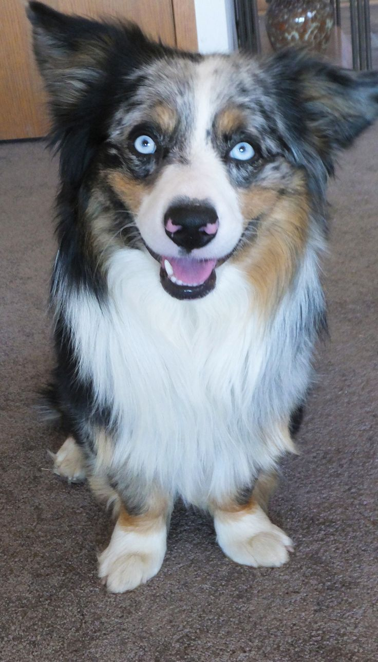 This is Lobo, Abby Rose's cousin. At first glance he's a spectacular Australian Shepherd until you get the full picture. He's part Corgi. He has a tendency to stop people in their tracks when we meet on the walking trail. Truly one of the happiest creatures we know. Blessed to have him in the family.
