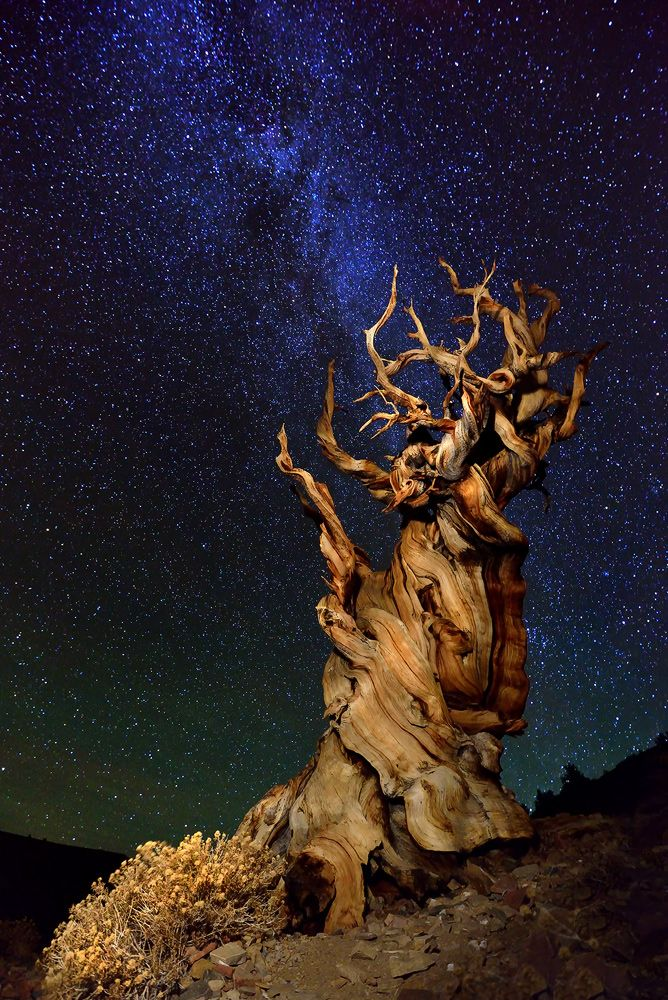 Ancient Bristlecone Pine at Schulman Grove, California