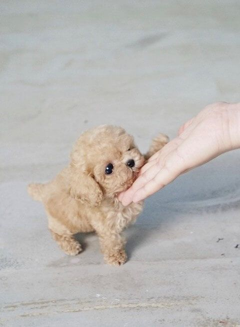 Breed: Tiny Teacup Poodle Name: Tempo Gender Female Color