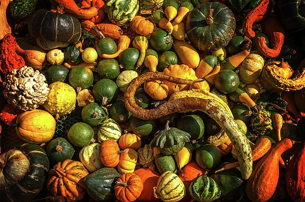 Abundant Harvest of Gourds Display by Jenny Rainbow fine art print for home decor. Vibrant colors of the autumn harvest of gourds, and pumpkins on sunny display.   This still life fine art print with abundant display of healthy vegetables perfectly performing on the walls of the kitchens in Provence style adding much sun and joy to the living space any time of the year. To buy print just click on pin. 30 days money back guaranty for every purchase.
