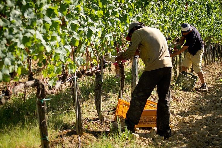 la cura dei grappoli @ fattoria-fibbiano