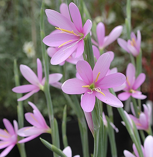 Hesperantha Huttonii A Very Unusual Lovely Bulbous