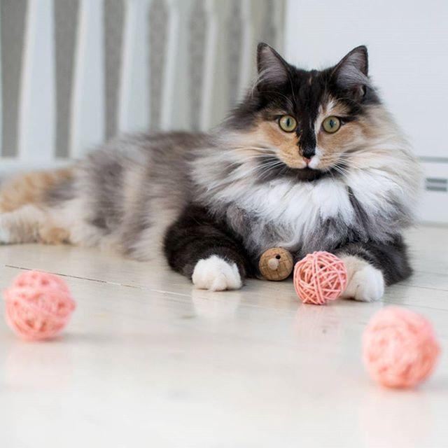 Får jag presentera en av mina favorittjejer Esther 🐱❤ Det är hon som styr @miwodesign med mjuk järntass 🐾😎 Miwo Design tillverkar underbara produkter till oss pälsklingar jag älskar dessa rottingbollar med bjällra perfekt att mixtra, fixa och trixa med 👍 /Morris  🐱   #kattpost #prenumerationsbox #månadsbox #presentbox #goodiebox  #katt #katter #kattglädje #pälskling #hipsterkatten #katterpåinstagram #katterpåinsta #cat #cats #catsoninstagram #catsoninsta #catsofinstagram #crazycatlady…