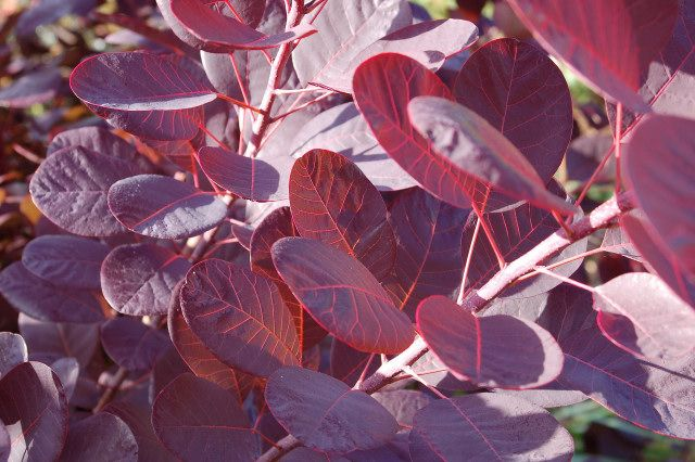 Bíbor cserszömörce - Cotinus coggygria royal purple 40/60 C5L
