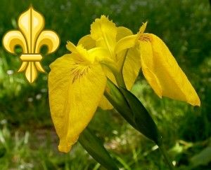 "The Most Popular Iris In The World — Flag Iris –  One of the most well known symbols, the fleur-de-lis is seen all over the globe! While it's name means ""Lily Flower"" it's beginnings did not start with the lily. Instead, it's widely thought to be a stylized version of the species Iris pseudacorus or the Flag Iris.Flags Iris, Beards Iris, Orchids Irises Daylily, Popular Iris, Species Iris, Orchids Iris Daylily, Iris Pseudacorus"
