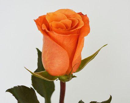Cual es el significado del color de las rosas