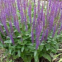 Salvia.  Low maintenance plant. Tolerates dry soil. Comes in a variety of colors. Blooms summer to fall. Attracts hummingbirds.