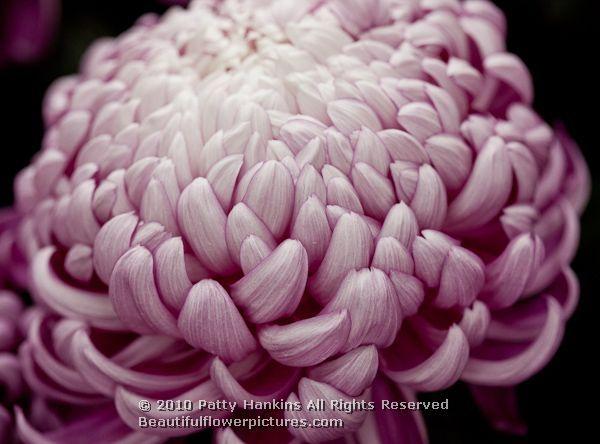 Crisantemo | Chrysanthemums
