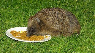 Hedgehog Watch Dublin: Hedgehogs behavior