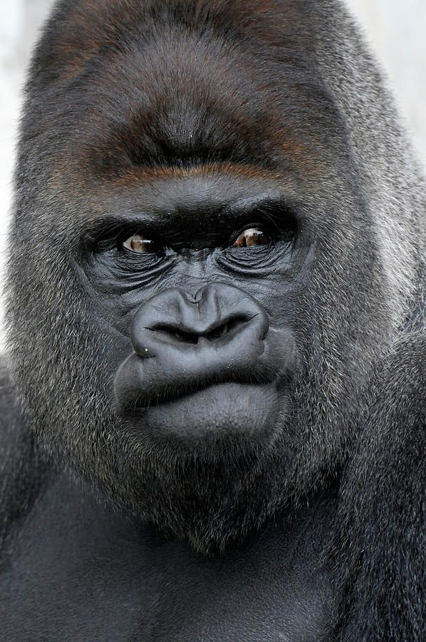 Gorilla Gorilla Photograph by Ronald Wittek - Gorilla Gorilla Fine Art Prints and Posters for Sale