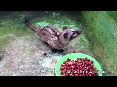 CIVET COFFEE - WEASEL COFFEE - KOPI LUWAK - YouTube