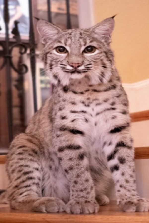We Share Our Home With Two Bobcats With Images Animals
