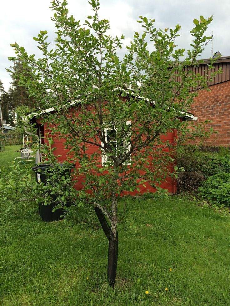 Plum tree after flowering. It had massive amount of flowers.