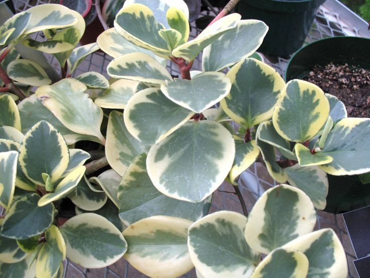 jelly peperomia plant care, peperomia obtusifolia care, variegated hoya plant care, variegated teardrop peperomia care, variegated yucca plant care, peperomia caperata plant care, variegated coleus plant care, variegated schefflera plant care, variegated ground cover plants, calathea care, variegated wax plant, variegated rubber plant, variegated wandering jew plant, variegated weeping fig plant care, variegated ginger plant care, variegated ivy plant, variegated house plant identification, peperomia clusiifolia plant care, variegated house plant with waxy leaves, variegated pittosporum care, on variegated peperomia house plant care