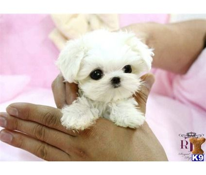 micro teacup maltese... with the cutest face.
