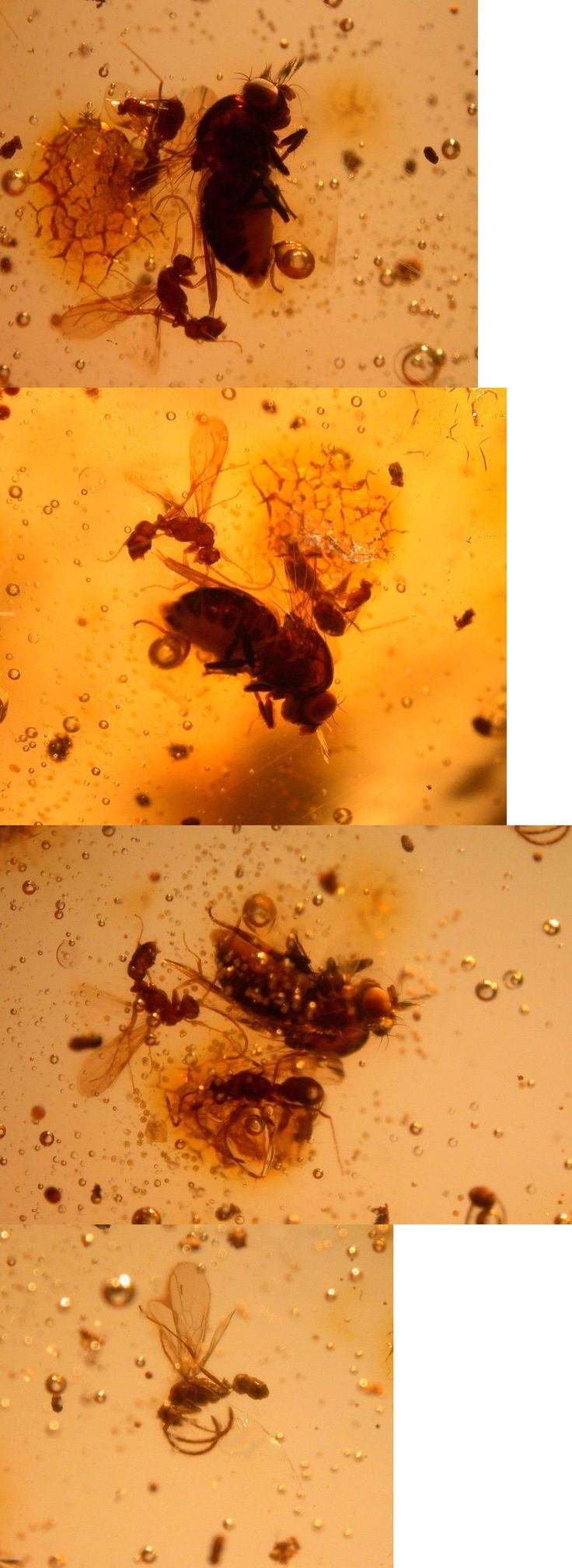 Amber 10191: Rare Acalyptrate Fly, 4 Winged Ants, Strange Bubbles In Colombian Copal Amber BUY IT NOW ONLY: $45.0