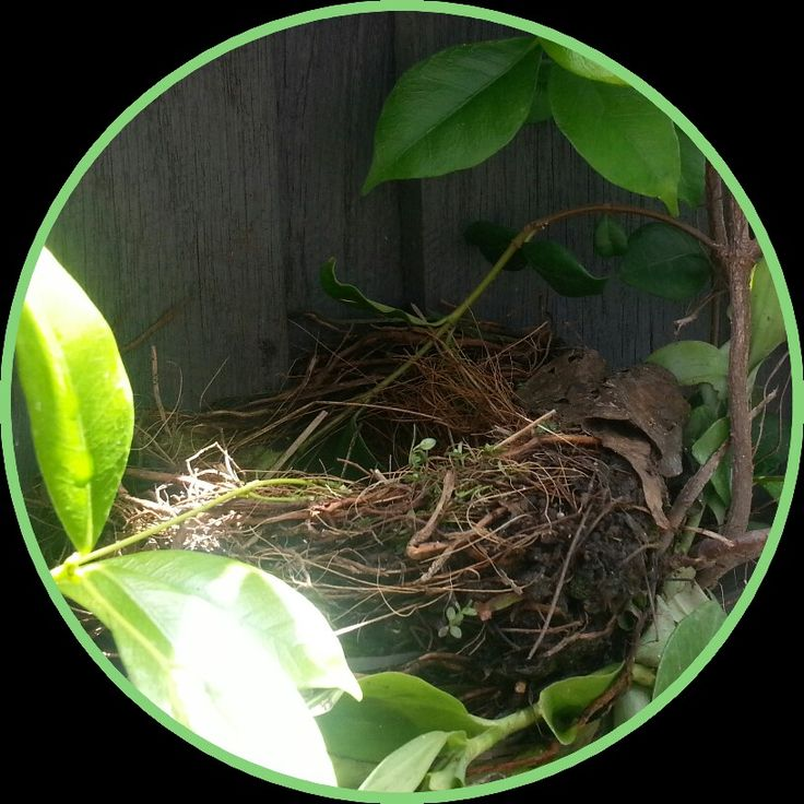 Spotted outside my window today - hope it is a blackbird nest