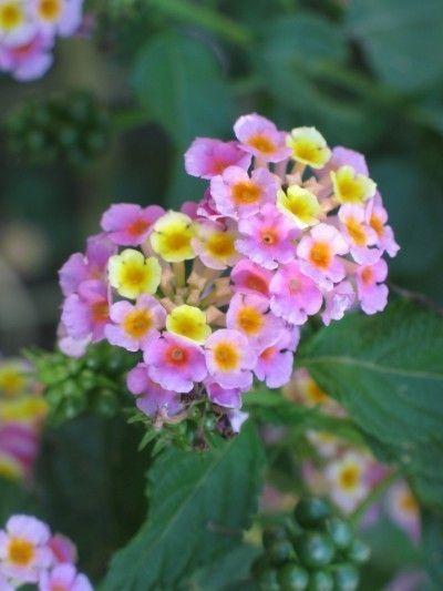 lantana-  lantana camara .  southern living favorites: athens rose, chapel hill yellow, miss huff,  dallas red