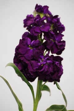 Stock dark purple
