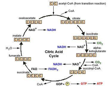 Mnemonics: The Krebs Cycle