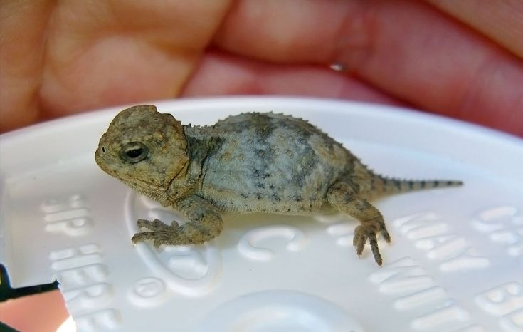 82 Best Images About Horny Toad Horned Lizard On Pinterest Horns Frogs And Extinct