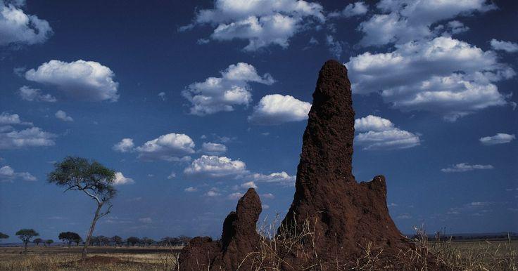 ¿Qué sonidos hacen las termitas?. Las termitas han estado por aquí por más de 50 millones de años y son expertas en lo que hacen: masticar y comer madera. Al igual que las hormigas y las abejas, son insectos sociales, cada miembro de la colonia tiene una tarea específica. Una colonia de termitas puede comer hasta 15 libras ( 6 kg) de madera en una sola semana, de acuerdo a ...