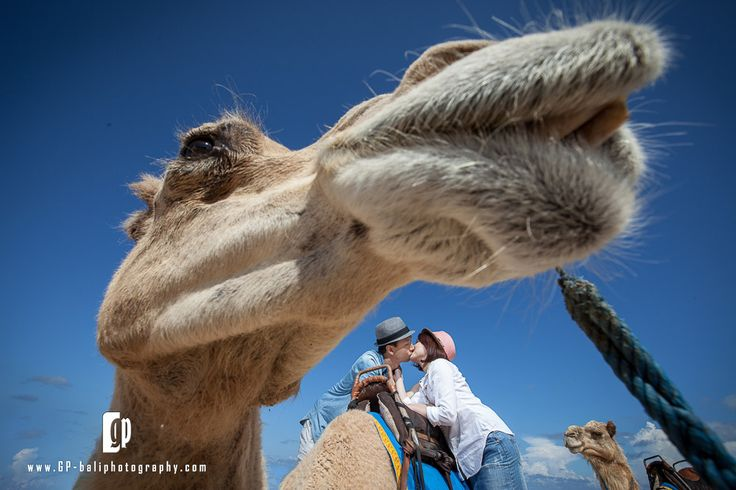 Zahara... one of the famous camel in Bali. He has been a witness for thousands of couples that taking photo around Nusa dua area.