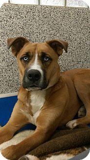 Middletown, OH - Akita/Boxer Mix. Meet Merlin, a dog for adoption. http://www.adoptapet.com/pet/15538199-middletown-ohio-akita-mix