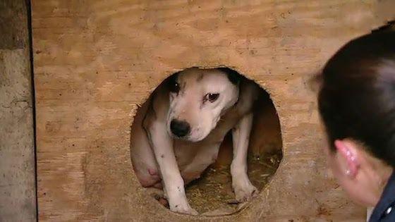 Teneri cuccioli Notizie: Cane da combattimento gravida, salvata dai volonta...