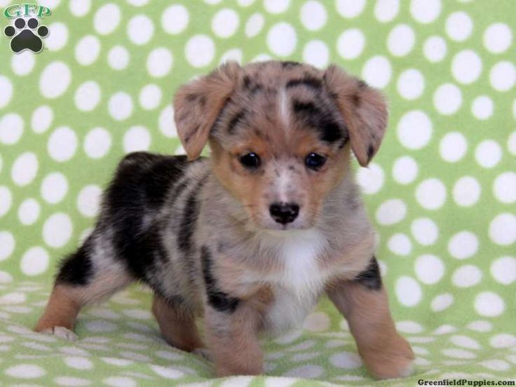 Spot, Welsh Mix puppy for sale from Kinzers, PA