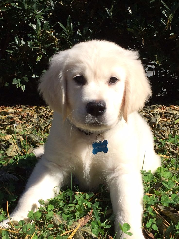 So sweet!! English Golden Retriever