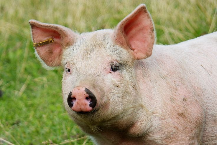 STOP PIG CASTRATION CAMPAIGN With 152 million pigs and a yearly production, the EU is the world's biggest exporter of pig meat and the second biggest producer after China. The animals are needlessly castrated and we want to stop this cruel practice.