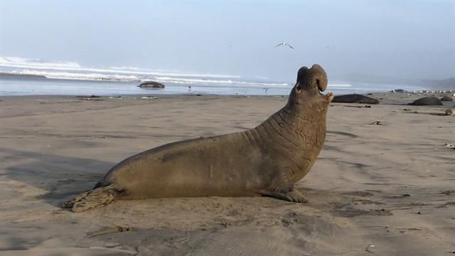 Male seals learn and memorize the vocal rhythm and style of their romantic competition, a rare ability.