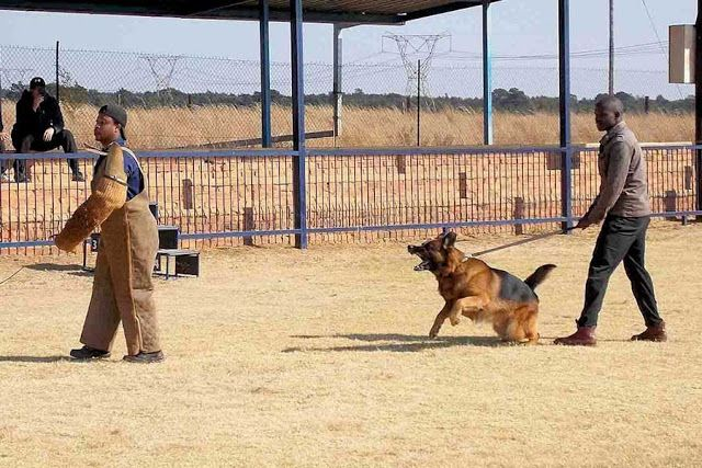 New Dimensions: Best Protection Guard Dogs (South Africa)